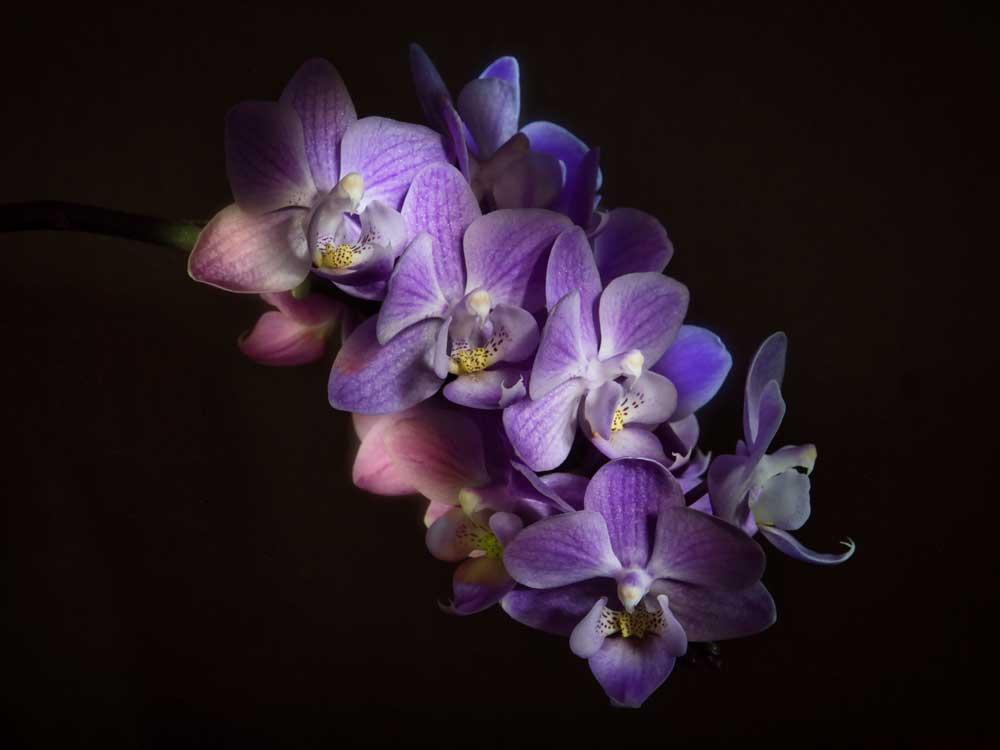 Fotografia Still Life fatta in casa di una Orchidea