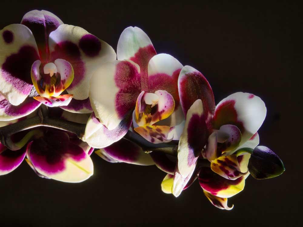 Orchidea fotografata con la tecnica del light painting